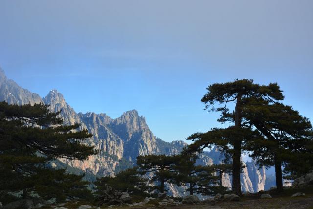 Pin maritime (Pinus pinaster), Bavella. Crédits : Mehdi Pringarbe / INRA Avignon ; Projet GenTree