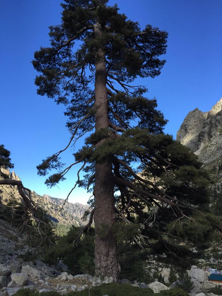 Pin noir (Pinus nigra), Gorges Restonica. Crédits : Mehdi Pringarbe / INRA Avignon ; Projet GenTree