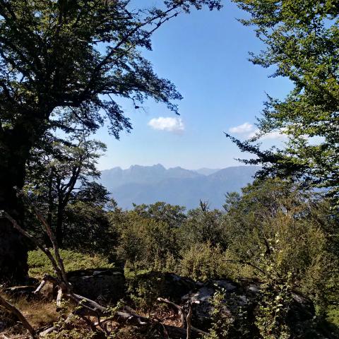 Hêtre commun (Fagus sylvatica) sur une parcelle haute de l'unité conservatoire de Coscione (Corse). Crédits : Arnaud Jouineau / INRA ; Project GenTree