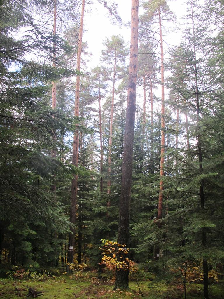 Pin sylvestre (Pinus sylvestris) Unité conservatoire d'Arlanc. Credits : Catherine Bastien ; Projet GenTree