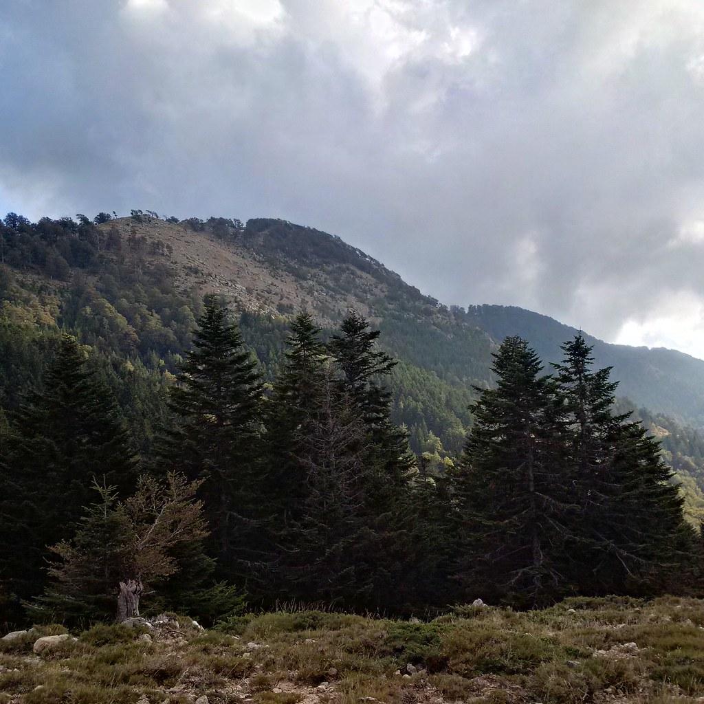 Sapins (Abies alba) de l'unité conservatoire de Punteniellu (Corse). Crédits : Arnaud Jouineau / INRA ; Project GenTree