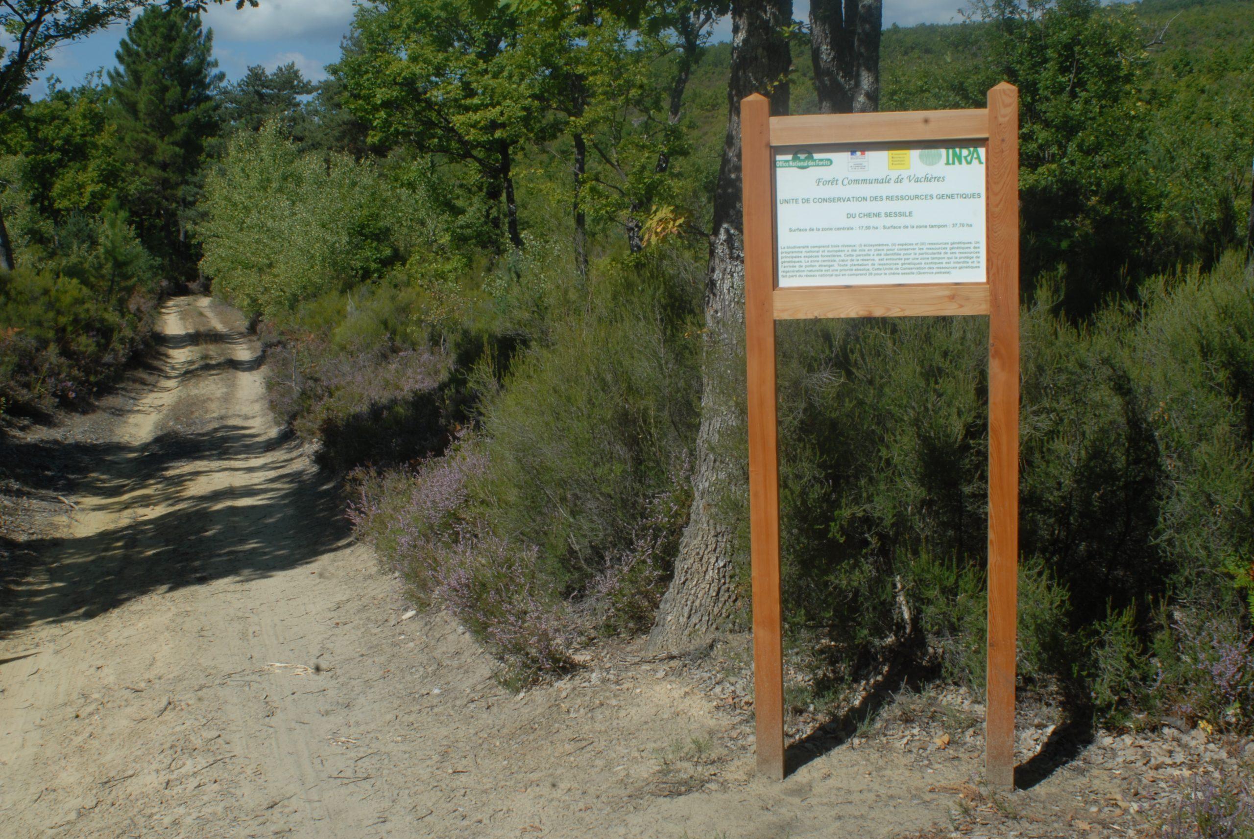 Unité conservatoire de chêne sessile (Quercus petraea) forêt communale de Vachères. Crédits : A. Duccousso / INRA