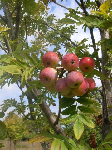 Fruits cormier 3